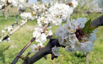 Cerezos en Flor en Áreas de Formación